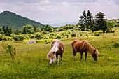 Wilde Ponys weiden im Mount Rogers National Recreation Area, USA