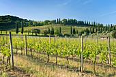 Schöner Weinberg, Toskana, Italien