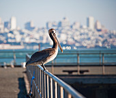 Pelican on Pier Railing,San Francisco, California, USA