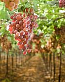 Grapes on Vine in Vineyard, Amikam, Israel