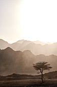 Single Acacia tree in the Sinai mountains