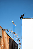Crow on a container, in the background the ferris wheel, Theresienwiese, Munich, Bavaria Germany