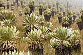 Frailejones Gigantes Endemic Giant plants in El Angel National Park in Ecuador