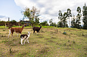 Three lamas in the large garden of Hacienda La Jimenita near Quito Airport, Ecuador