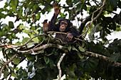 Schimpansenjunge, namens Fanwwaa (Pan troglodytes), 5 Jahre alt, tromelt auf dem Baum, Bossou, Guinea