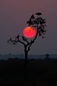 Marabustorch (Leptoptilos crumeniferus) und Geier scharen sich im Baum bei Sonnenuntergang, Nationalpark Serengeti, Tansania