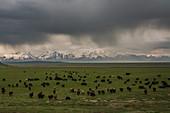 Flock of sheep in Transala mountains, Kyrgyzstan, Asia