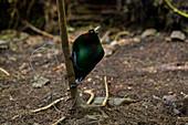 Paradiesvogel-Männchen (Cicinnurus magnificus) Arfak Berge, West-Papua, Indonesien