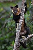 Bären-Baumkänguru (Dendrolagus ursinus), Arfak-Gebirge, West Papua, Indonesien