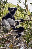 Indri (Indri Indri) ernährt sich im Baum, Maromizaha Reserve, Madagaskar