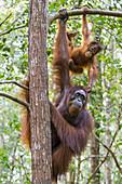 Orang-Utan (Pongo pygmaeus) Weibchen mit zweijährigen Jungen am Baum, Nationalpark Tanjung Puting, Indonesien