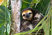 Weißkehl-Faultier (Bradypus tridactylus) Männchen im Baum, Sloth Island, Guyana