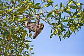 Weißkehl-Faultier (Bradypus tridactylus) Männchen im Baum hängend, Trägheits-Insel, Guyana