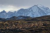 Guanako (Lama guanicoe), Herde und Berge, Paine Massif, Torres Del Paine, Nationalpark Torres Del Paine, Patagonia, Chile