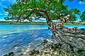 Alexandrischer Lorbeer (Calophyllum Inophyllum) Baum an der Küste, Aimbuei Bay, Aore Island, Vanuatu
