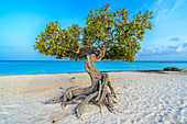 Divi-Divi-Baum (Caesalpinia coriaria), am Strand, Aruba, Karibik