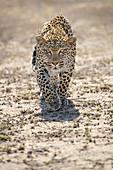 Leopard (Panthera pardus), männlich, Sabi-Sand-Wildreservat, Südafrika