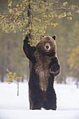Braunbär (Ursus arctos) markiert Baum im Spätwinter nach dem Winterschlaf, Finnland