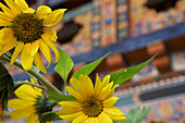 Sunflowers in front of the Pema Choling Nunnery, Tang Valley, Bumthang, Bhutan, Himalayas, Asia