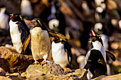 Goldschopfpinguine (Eudyptes chrysolophus) New Island, Falkland Islands, Südamerika