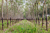 Trees in a rubber plantation in jungle of Cambodia, Indochina, Southeast Asia, Asia
