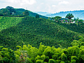Hillside of coffee plants, Hacienda Guayabal, near Manizales, Coffee Region, Colombia, South America