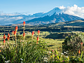 Cotopaxi volcano with orange torch lilies (kniphofia) in foreground, Andes mountains, Ecuador, South America