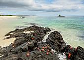 Sally Lightfoot Crabs (Grapsus Grapsus), Bachas Beach, Insel Santa Cruz, Galapagos, UNESCO-Welterbestätte, Ecuador, Südamerika