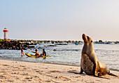 Seelöwe (Zalophus wollebaeki), Playa Mann, Sonnenuntergang, Puerto Baquerizo Moreno, Insel San Cristobal (Chatham), Galapagos, UNESCO-Welterbestätte, Ecuador, Südamerika