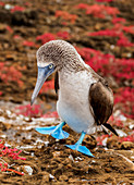Blue-footed booby (Sula nebouxii), Punta Pitt, San Cristobal (Chatham) Island, Galapagos, UNESCO World Heritage Site, Ecuador, South America