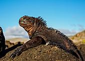 Meerechse (Amblyrhynchus cristatus), Insel San Cristobal (Chatham), Galapagos, UNESCO-Welterbestätte, Ecuador, Südamerika