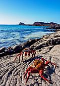 Rote Klippenkrabbe (Grapsus grapsus), Sullivan Bay, Insel Santiago (James), Galapagos, UNESCO-Welterbestätte, Ecuador, Südamerika