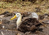 Galapagosalbatros (Phoebastria irrorata), Punta Suarez, Insel Espanola (Hood), Galapagos, UNESCO-Welterbestätte, Ecuador, Südamerika