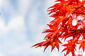 Low angle view of autumn leaves under bleu sky, Kyoto, Japan