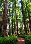 Path Through Forest,Jedediah Smith State Park, California, United States