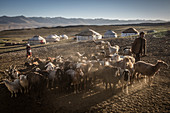 Cattle herds of the Kyrgyz people in the Pamir, Afghanistan, Asia