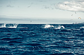 Dolphins and birds off the coast of the Picos Island, Pico, Azores, Portugal, Atlantic Ocean, Atlantic Ocean, Europe,