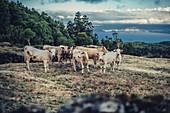 Rinder auf der Insel Pico, Azoren, Portugal, Atlantik, Atlantischer Ozean, Europa