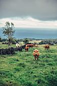 Kühe auf einer Weide an der Küste der Insel Pico, Azoren, Portugal