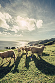Sheep at a bay on the island of Flores, Azores, Portugal, Atlantic Ocean, Atlantic Ocean, Europe,
