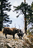Yaks grazin on the mountain slopesm, Bhutan