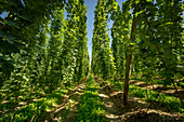 Hop teaching trail Wolnzach in the largest hop growing area in the world. Wolnzach, Hallertau, Bavaria, Germany, Europe