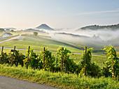 Morning fog, grapevines, Riegersburg, Styria, Austria