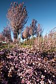 Kirschbaum Plantage, im Vordergrund Kirschblüten Zweige, Drizzona, Provinz Cremona, Italien, Europa