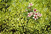 Blume namens Alpenheide im feuchten Moos, Lavafeld Eldhraun, Südisland, Island, Europa
