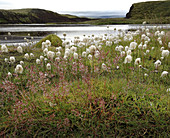 View of cotton grass in front of a lake in the Landmannalaugar, South Iceland, Iceland, Europe