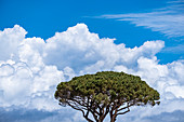 Sybiosis from tree and clouds in Anacapri, Capri Island, Gulf of Naples, Italy