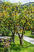 Lime garden at La Zagara restaurant in Anacapri Island of Capri, Gulf of Naples, Italy