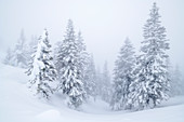 Winter forest in the fog, Ammergau Alps, Swabia, Bavaria, Germany
