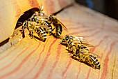 Bees fly into beehive, Upper Bavaria, Bavaria, Germany